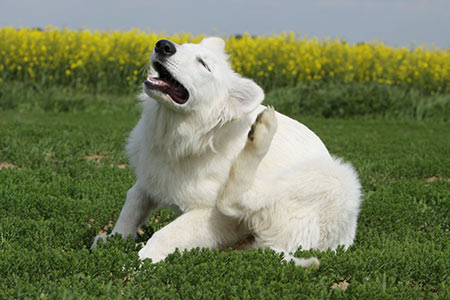 how to remove dog parasite