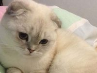 scottish-fold-cat
