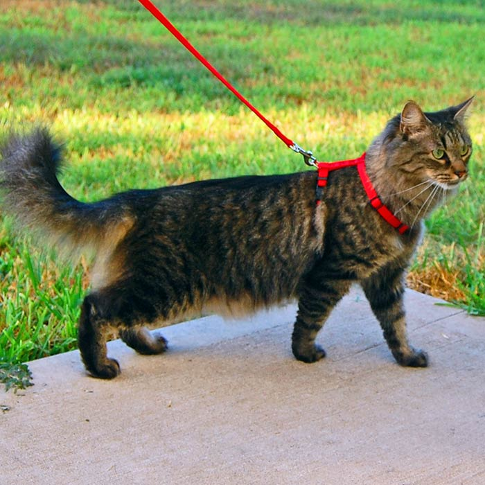 how to harness leash train a cat1